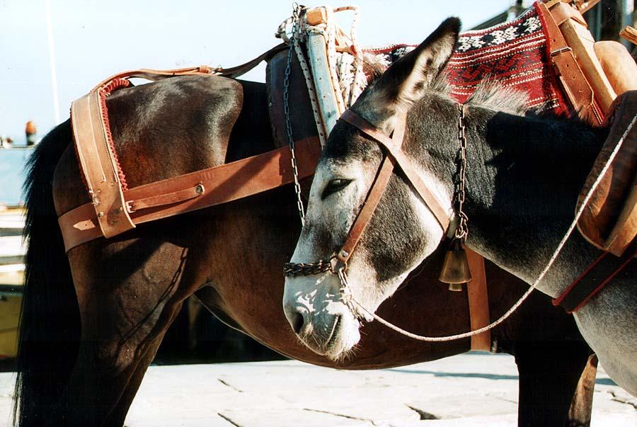 Donkeys in Hydra