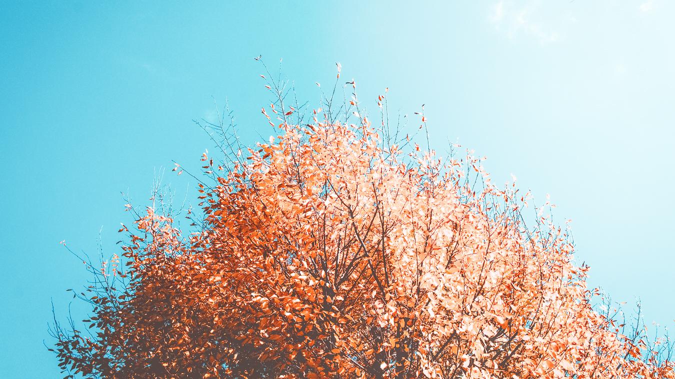 A tree during autumn in Belgium