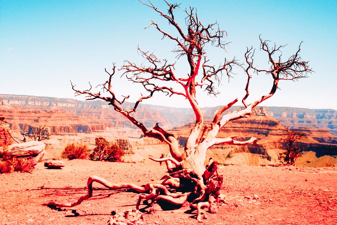 Tree at Grand Canyon National Park