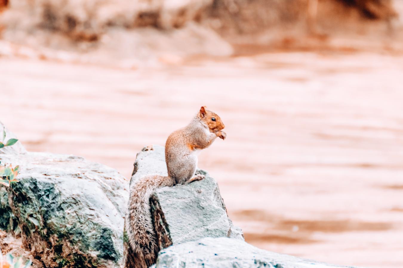 Squirrel in the Japanese Friendship Garden