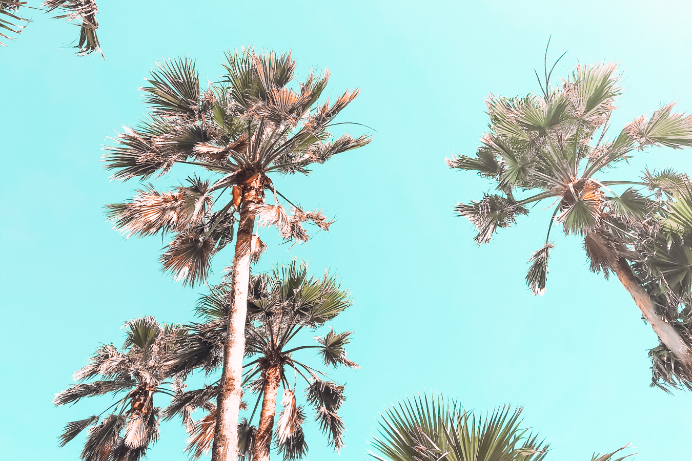 Palm trees in South Padre Island