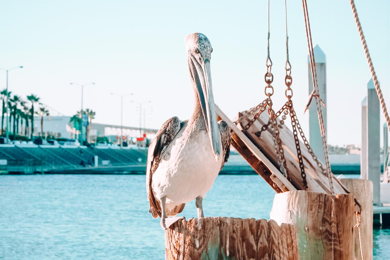 Pelican in Corpus Christi