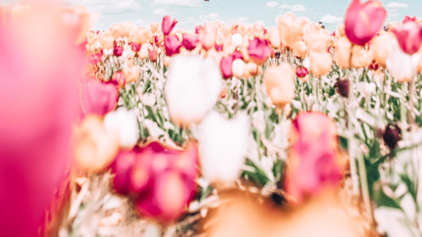 Instagrammable tulips in Portland