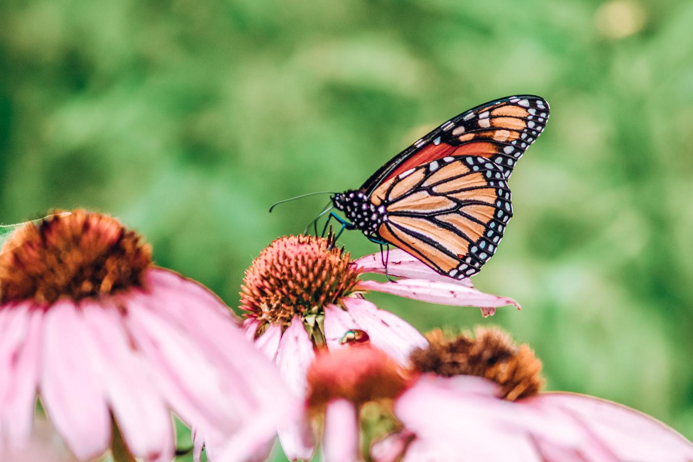 Butterfly at the Lauritzen Gardens