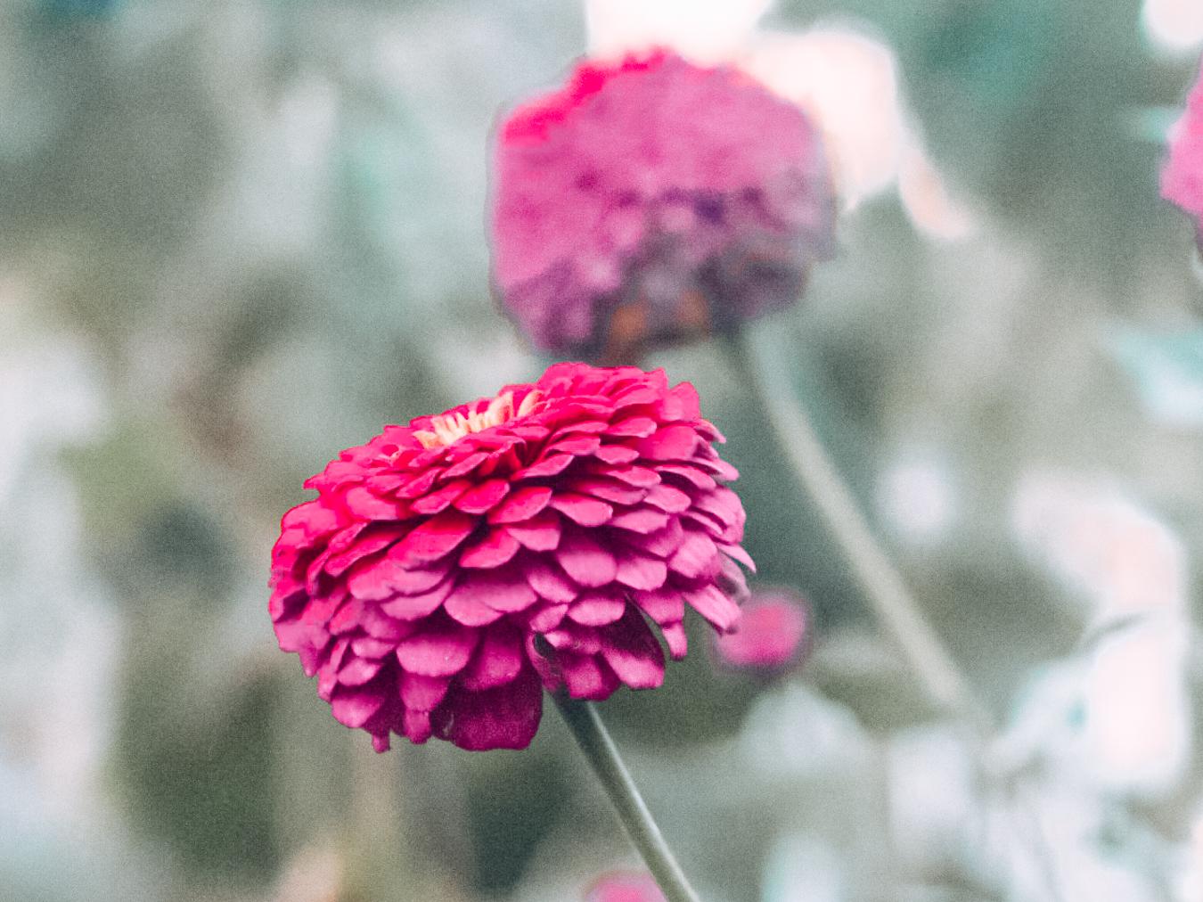 Pink flowers at the Denver Botanic Gardens