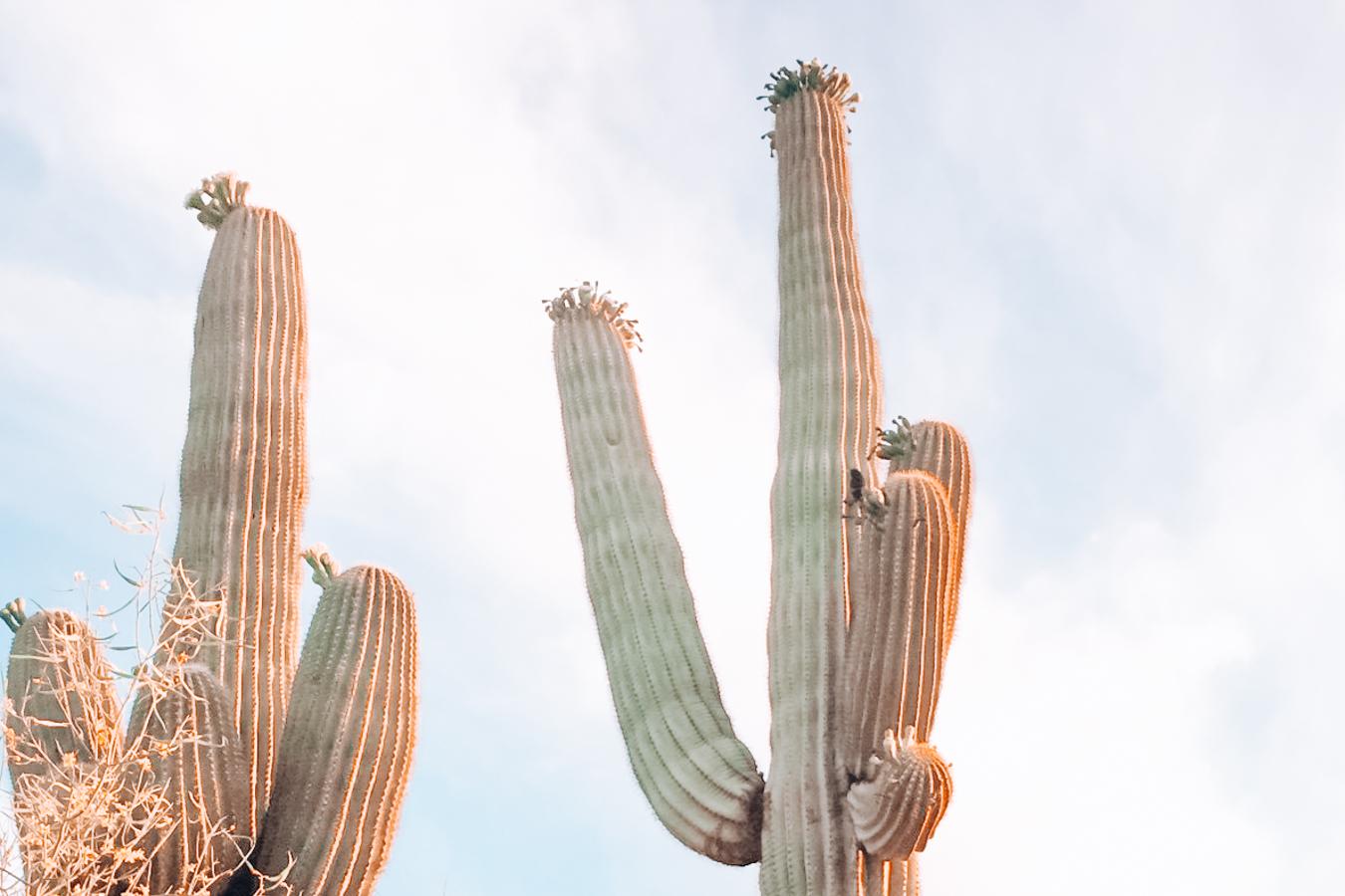 Cacti in Desert Botanical Garden