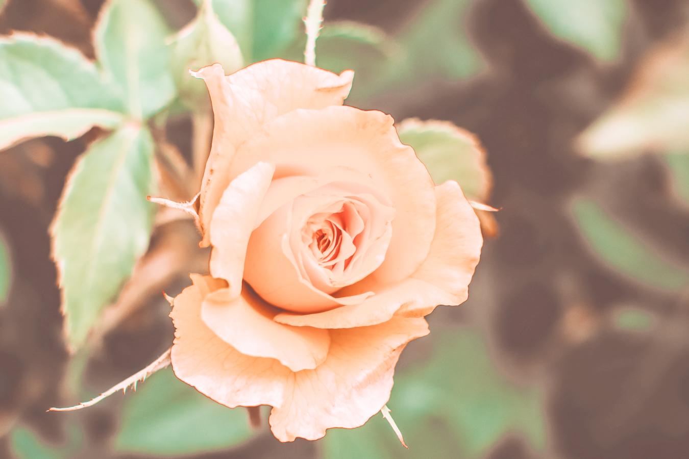 Instagrammable rose at the Kelleher Rose Garden in Boston