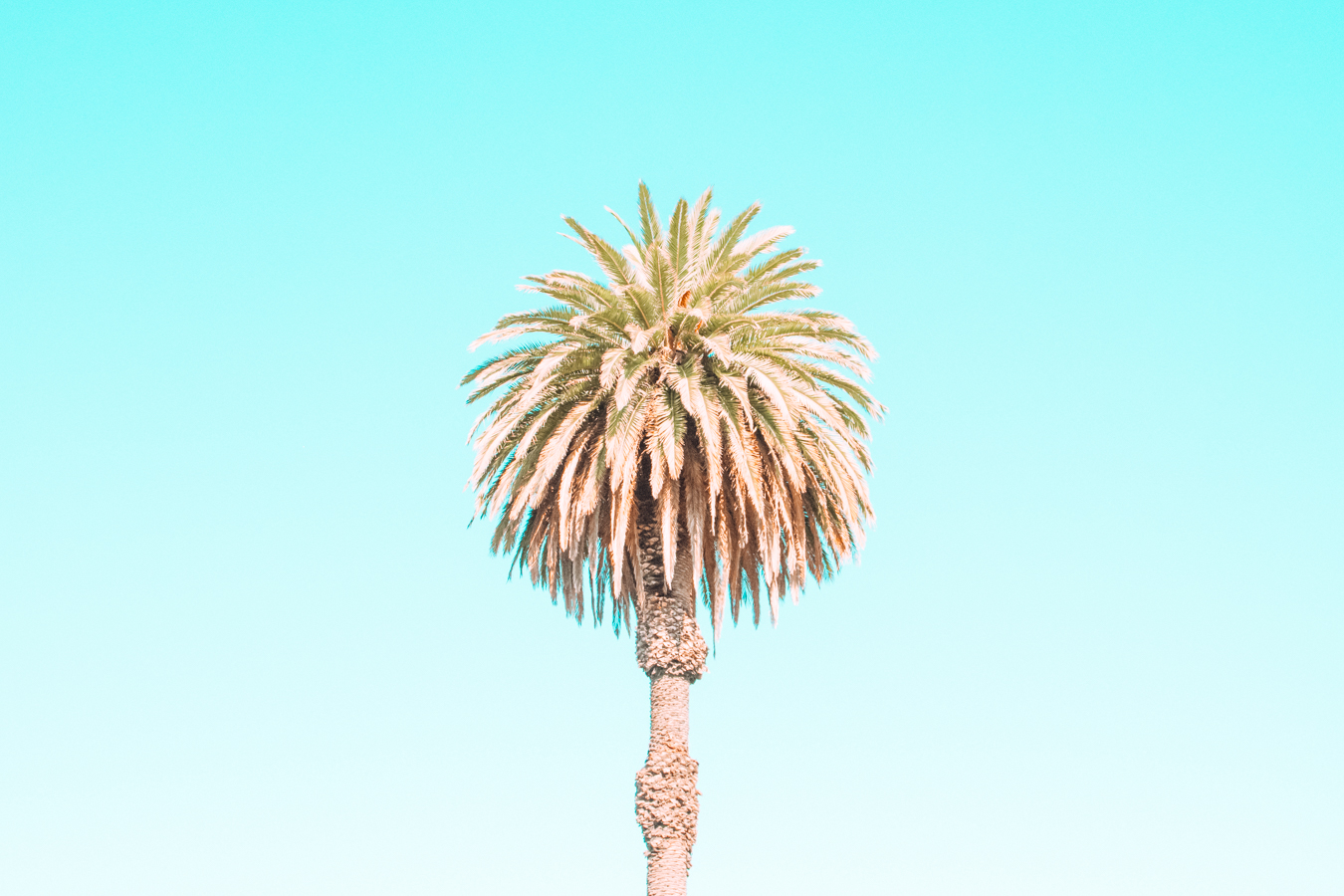 Palm tree in Oakland