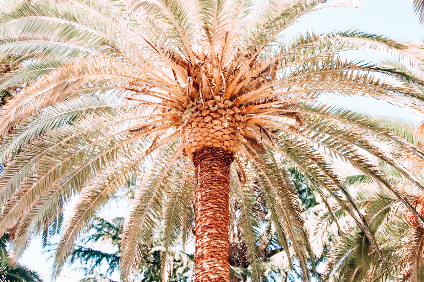 A palm tree in Palm Springs