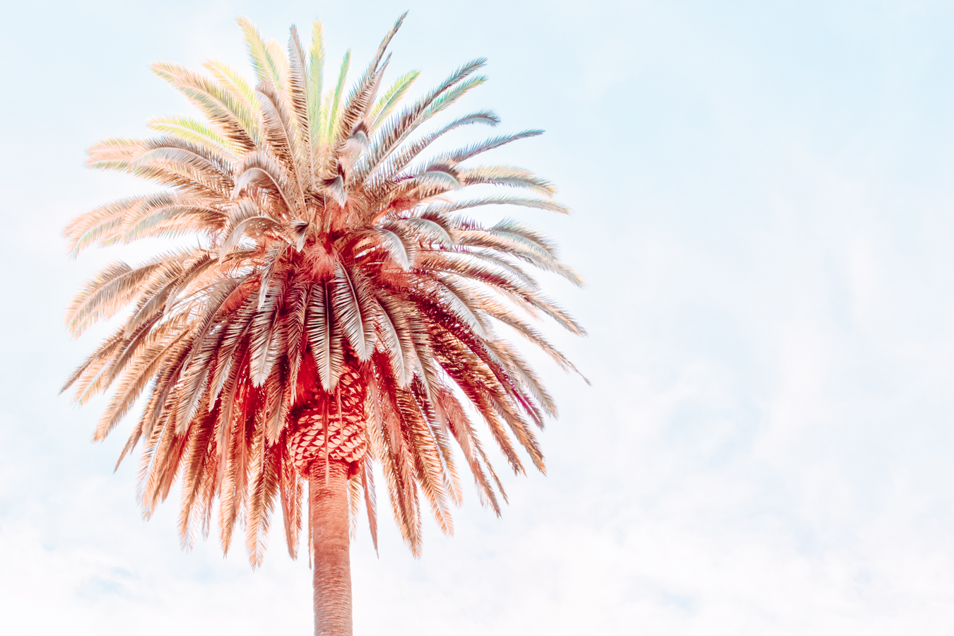 Large palm tree in San Diego