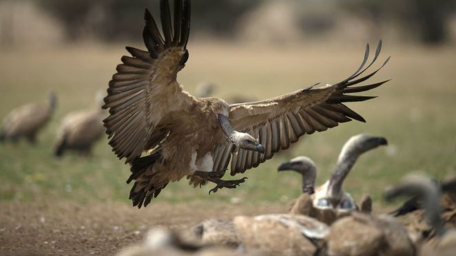 Botswana endangered vultures die: 500 dead after eating poisoned elephant  carcasses - CNN