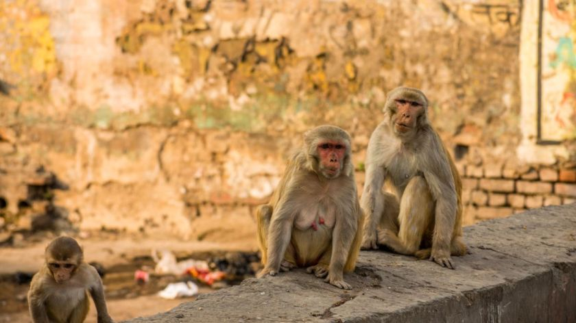 Monkeys snatch blood samples of suspected Covid-19 patients in ...