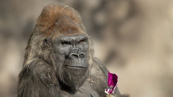 Gorillas at the San Diego Zoo have fully recovered from Covid-19