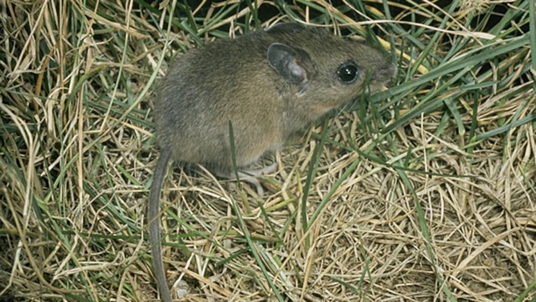 Animals that can carry plague bacteria found in the Western U.S.
