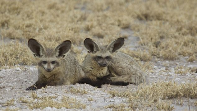 Look out for the bat-eared fox.