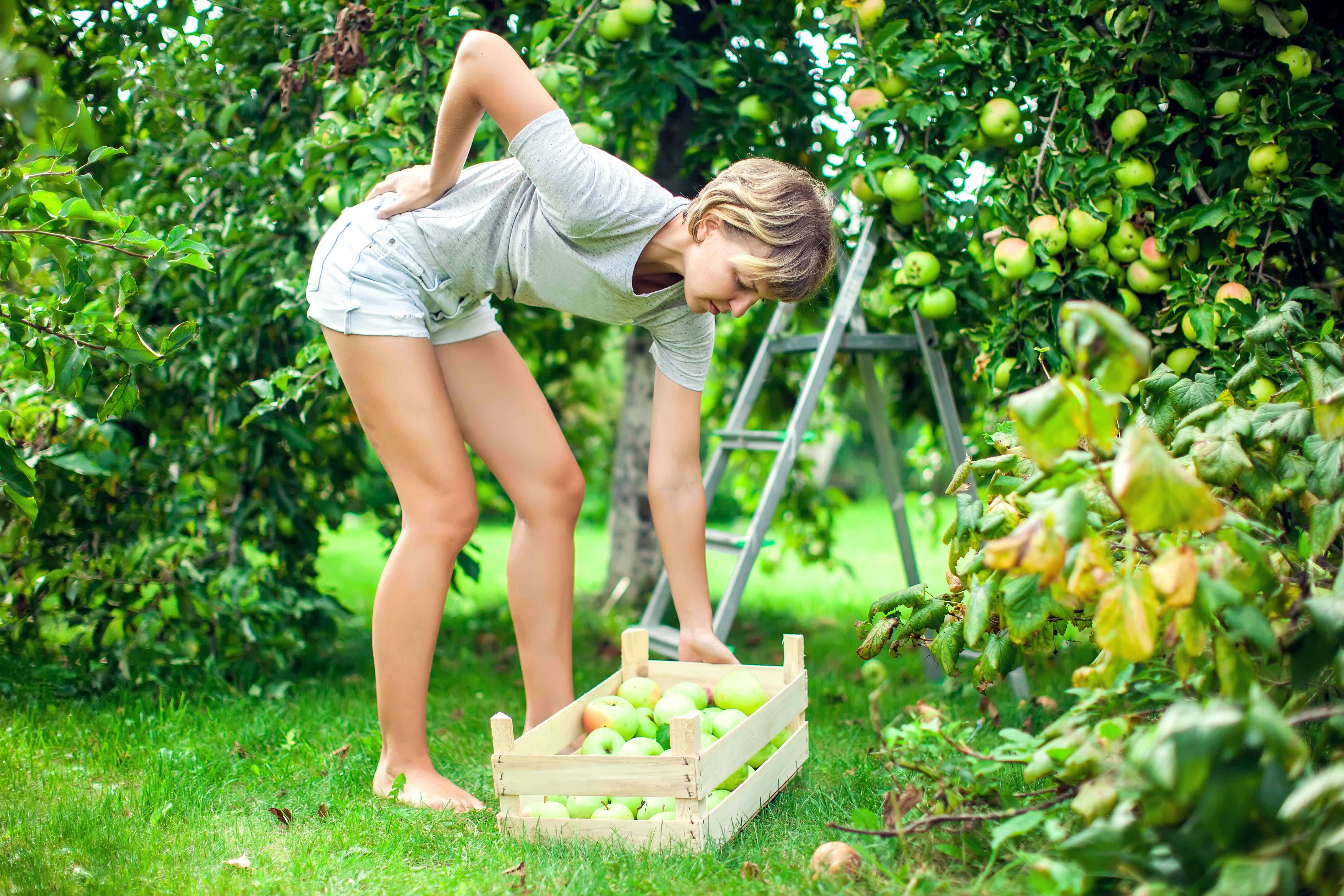 Woman with a strong pain in low part of the back while collecting apples in the garden.