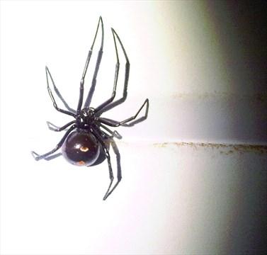 Beauty in the eye of black widow | Simcoe.com