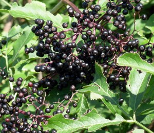 CristyRocilloBlogElderberries2007-08-12