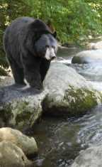 MarkMenendez-Black_Bear_Stream