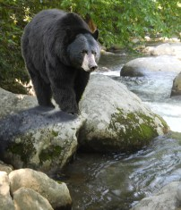 MarkMenendez-Black_Bear_Stream