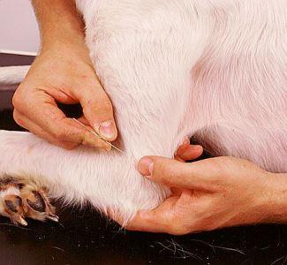 Akupunktur til dyr, og guld mod gigt