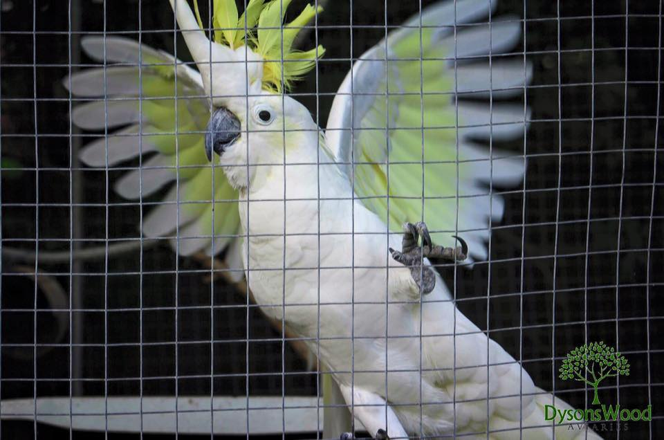 Sulphur Crested Cockatoo Dysons Wood Aviaries
