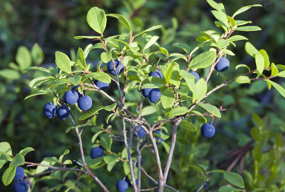oregon u-pick farms, blueberries