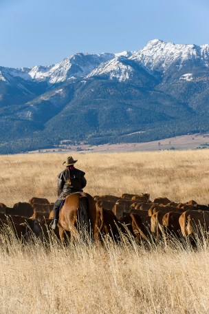 A rider brings the herd home from the summer pasture in northeastern Oregon.