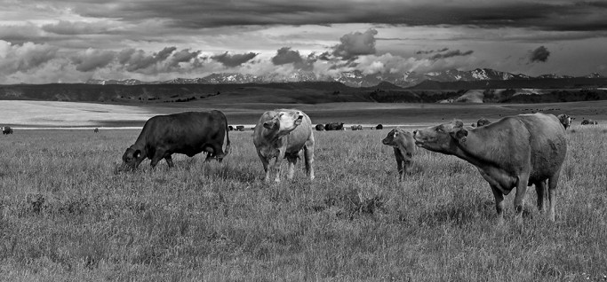 Cows sing on Oregon's Zumwalt Prairie with Idaho in the background. Blue ribon, 1st place, winner at the Wallowa Valley Festival of Arts Show, 2010.