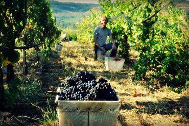 Trousseau Grape Harvest