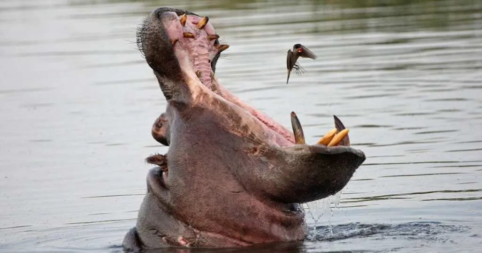 Oxpecker-and-a-hippo