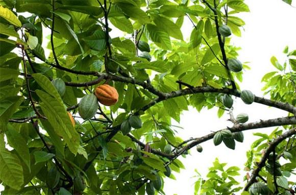 naturalne-kakao