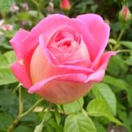 roza_8