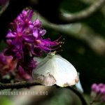 Tæl sommerfugle i Cameroon