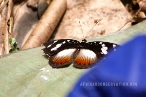 colourful-butterflies-of-cameroon