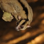 Ny primat opdaget på Madagascar