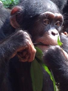 Foto: Tacugama Chimpanzee Sanctuary
