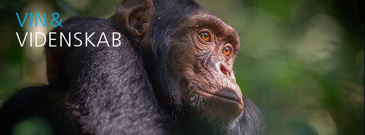 Blandt Afrikas chimpanser V&V
