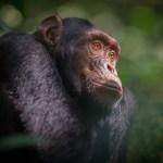 Medlemsrabat til foredrag om chimpanser