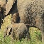 Vil evolutionen redde elefanterne?