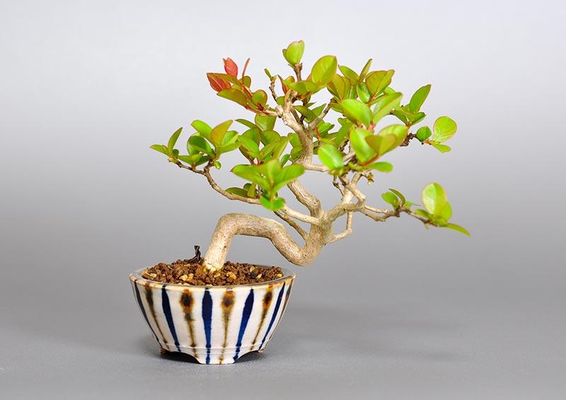 サルスベリ-E3(さるすべり・百日紅)花もの盆栽の販売と育て ...