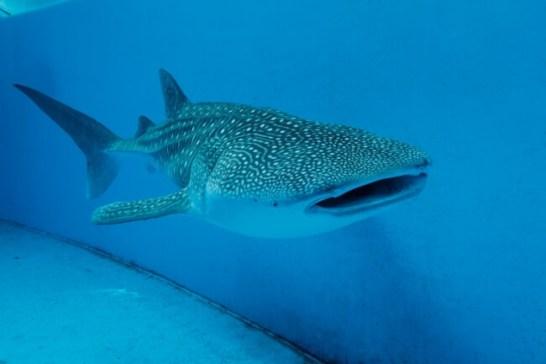 ジンベイザメ - 東京湾 サメコレクション(八景島シーパラダイス)
