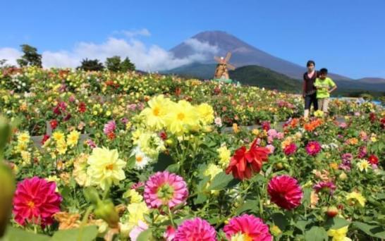 富士山の裾野 天空のダリア祭り 2016