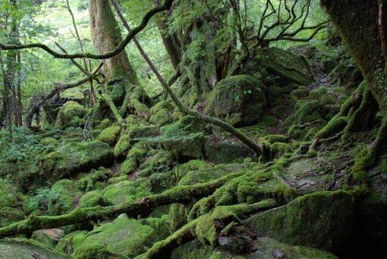 【1位:屋久島】白谷雲水峡の苔むす森(写真提供:屋久島町)