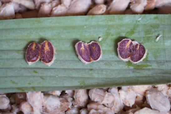 一般的なカカオの種子の断面