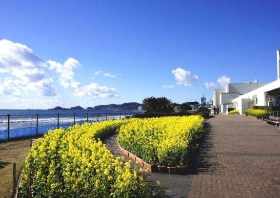 菜の花と海のコントラスト