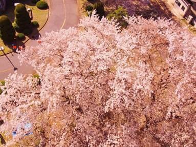 栗山桜まつり
