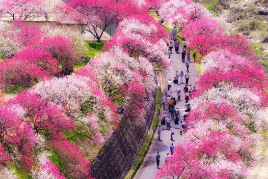 長野県阿智村【花桃の里】 花桃まつり