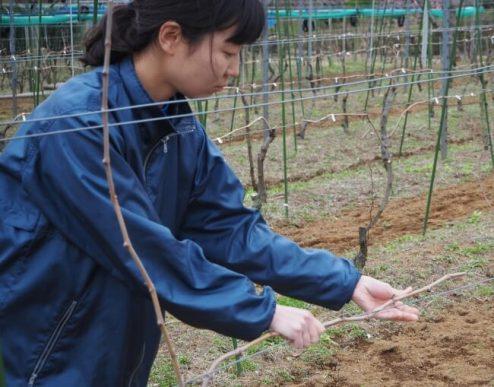 垣根栽培でブドウを栽培
