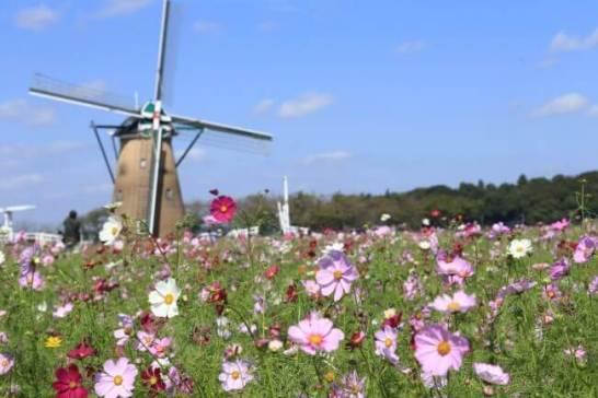 満開のコスモスとオランダ風車